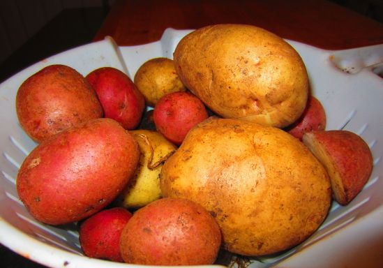The rest of the potatoes, freshly dug up and still in their happy soil. Note their rustic charm! In an interesting turn of events, when I turned over a spot I thought I'd turned over before, all the red potatoes turned up. Yahtzee!