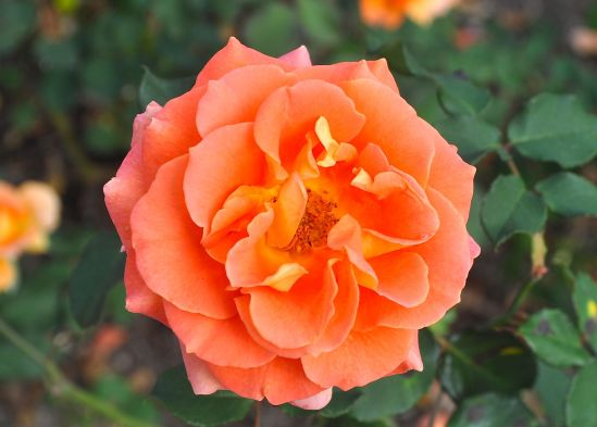 Photo: Bob Hosh. Brass Band is a floribunda rose that was bred in the U.S. in 1993. A repeat bloomer with yellow, apricot and peach blend of colors with a moderate damask fragrance. Photographed at the R.W. van der Goot Rose Garden in Somerset, NJ.