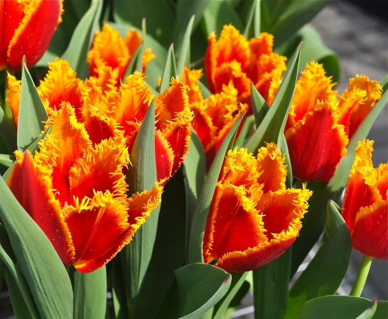 Tulips photographed by Bob Hosh in Colonial Park.