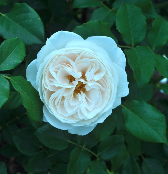 "Photo by Bob Hosh. He says, ""This lovely white rose infused with the palest shell-pink is labeled ""Rose Marie"" at the R. W. van der Goot Rose Garden in Somerset, New Jersey."""
