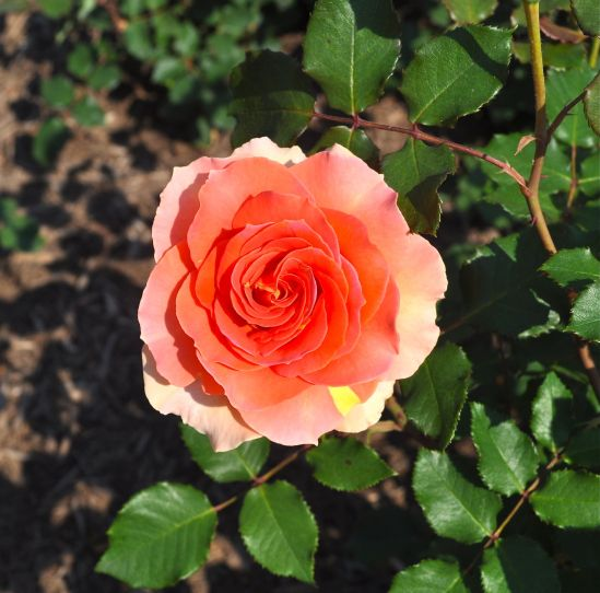 Bred in 1972, Just Joey a hybrid tea rose is justly famous as it has dazzling colors of orange, yellow, apricot and red! And it is also very fragrant! Photographed at the R. W. van der Goot Rose Garden in Somerset, NJ. Photo: Bob Hosh