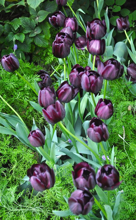 Purple tulips photographed at Longwood Gardens by Bob Hosh.