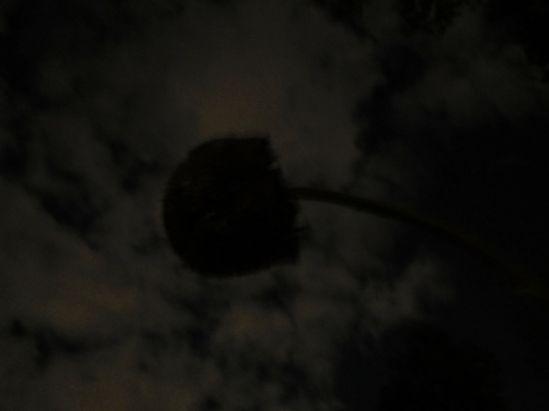 night sunflower 2