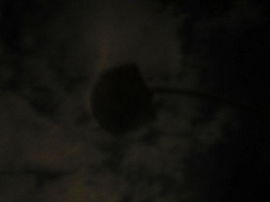 night sunflower 3