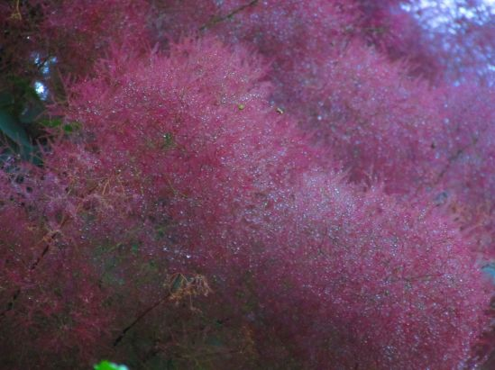 As rain poured down, I looked up the smoke tree and found this cloud.
