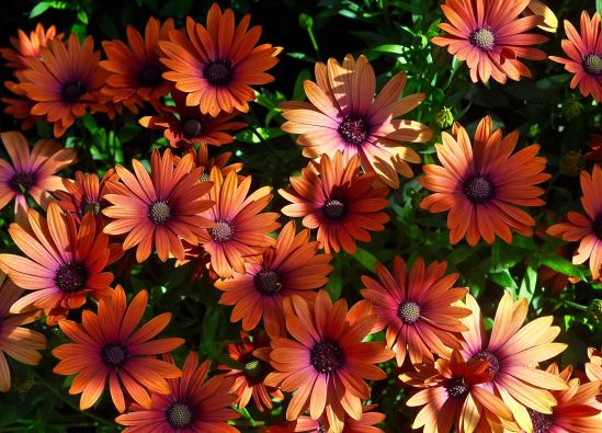 "The ""African daisy"" (Osteospermum app.) a half-hardy perennial  native to southern Africa. It comes in many colors and is a popular bedding plant. Photographed at Longwood Gardens. Photo: Bob Hosh"